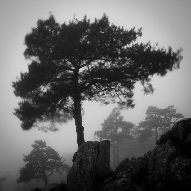 Bosque de pinos envuelto en niebla #1, atardecer de primavera, Sierra de Guadarrama, 2014